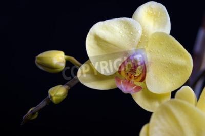 Obraz Krásné barevné květina orchidej, phalaenopsis na černém pozadí