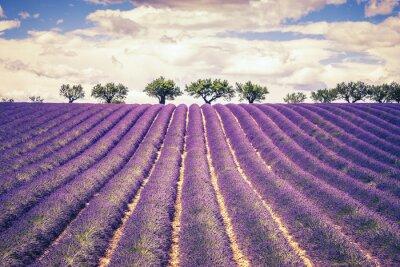 Obraz Krásné levandule pole