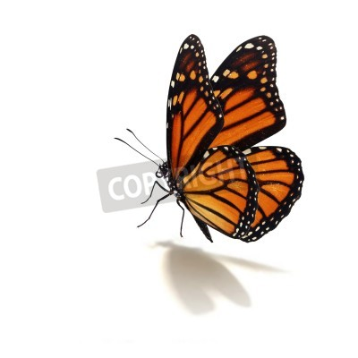 Obraz Krásné monarcha motýl na bílém pozadí