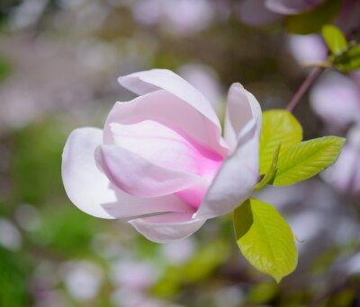 Obraz Krásné Pink Magnolia Květiny. jarní pozadí