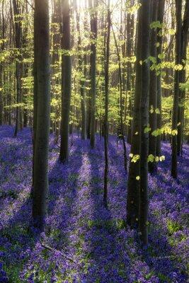 Obraz Krásné ráno v jarní Blue les s paprsky slunce podnikají příslušné