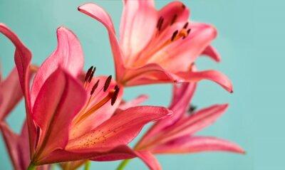 Obraz Krásné růžové lilie pozadí