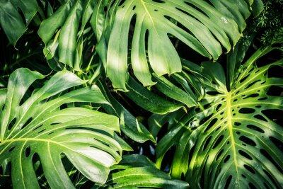 Obraz Krásné zelené tropické listy Monstera