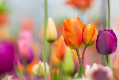 Obraz Krásný výhled na barevné tulipány.
