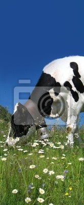 Kráva žvýkání camomiles na alpské louce
