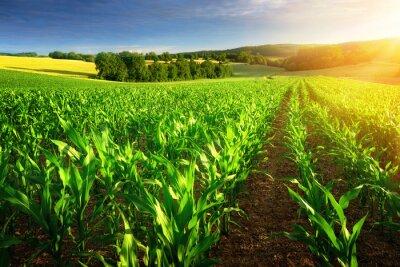 Obraz Kukuřičné pole na sluníčku