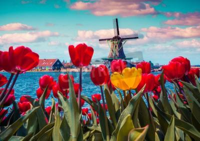 Obraz Květ tulipány v holandské vesnice se známými větrnými mlýny. Jarní slunečné ráno na nizozemských kanálech. Instagram tónování.