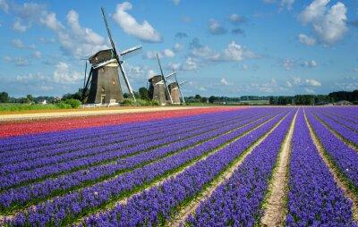 Obraz Květiny a větrné mlýny v Holandsku