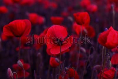Obraz Květiny Červené Vlčí máky na divokém poli. Krásné pole červené máky s selektivní zaměření. Tónování. Kreativní zpracování tmavou nízkou klávesou