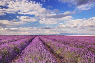 Obraz Kvetoucí pole levandule v Provence, jižní Francie