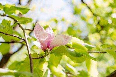 Obraz Kvetoucí růžové květy magnólie na jaře
