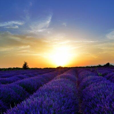 Obraz Lavender pole