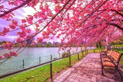 Obraz Lavičky pod třešněmi v plném květu během Hanami podél Shinobazu Pond v parku Ueno, parku u stanice Ueno, centrální Tokio. Ueno Park je považován za nejlepší místo v Tokiu pro třešňové květy.