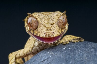Obraz Leaf-tailed Gecko / Uroplatus phantasticus