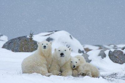 Obraz Lední medvěd s mláďaty