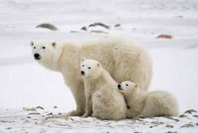 Obraz Lední medvěd s mláďaty v tundře. Kanada. Vynikající ukázkou.
