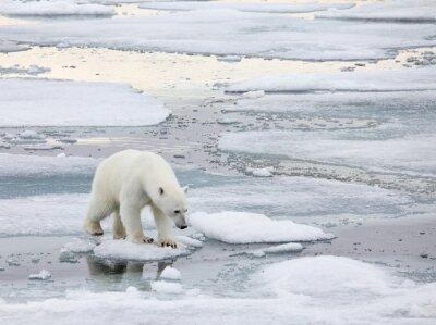 Obraz Lední medvěd v přirozeném prostředí
