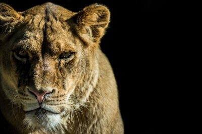 Obraz leone - lion