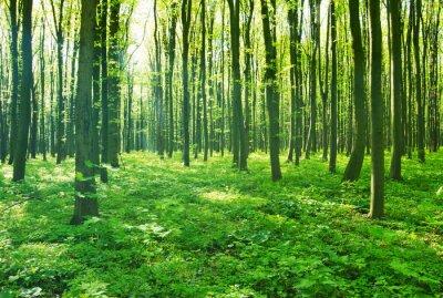 Obraz lesní zelená