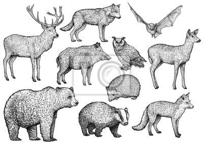 Lesni Zvire Ilustrace Kresba Rytina Inkoust Line Art Vektor
