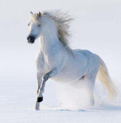 Obraz Letící sněhobílý kůň