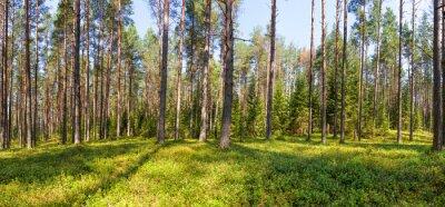 Obraz Letní borovice lesní panorama