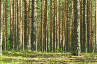 Obraz Letní Pine Forest