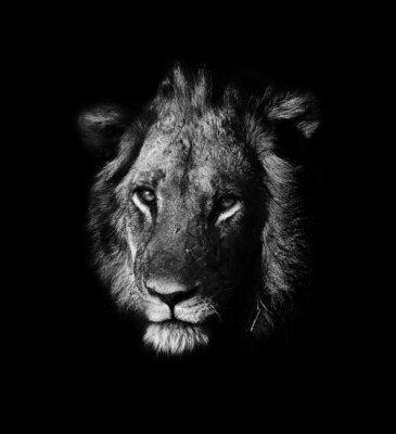 Obraz lev