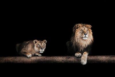 Obraz Lev a lvice, Portrét krásné lvů, lvi v da