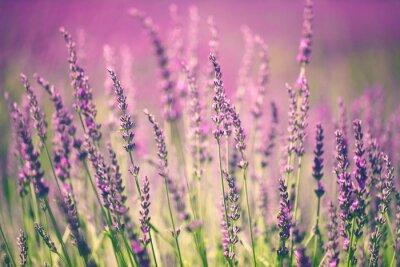 Obraz Levandule květ