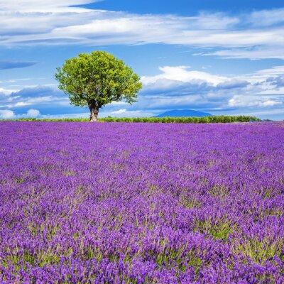 Obraz Levandulová pole se stromem