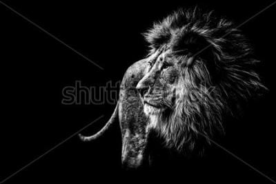 Obraz lion in black and white