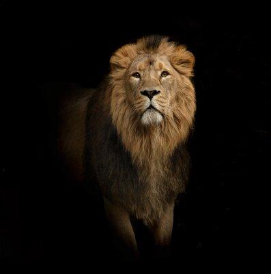 Obraz lion portrait on black