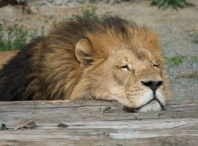 Obraz Lion spánek