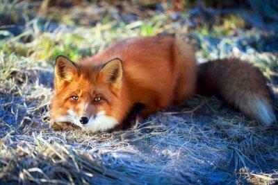 Obraz liška