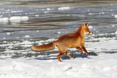 Obraz liška běží na ledě