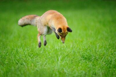 Obraz Liška na lovu při práci s myší v trávě z čelního pohledu z boku