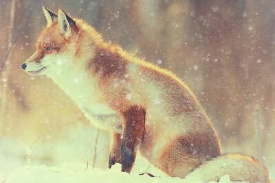 Obraz liška v zimě lese Pretty