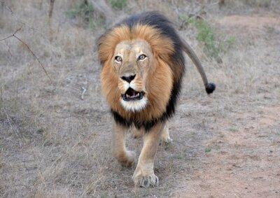 Obraz Lví Roar