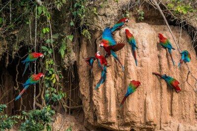 Obraz macaws v hliněné Lick v peruánské amazonské džungle v Madre de Di