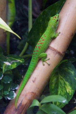 Obraz Madagaskarská obří den Gecko