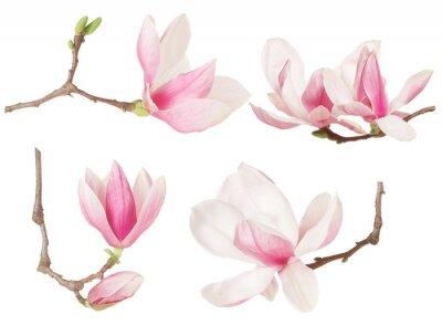 Obraz Magnolia květina ratolest jarní kolekce na bílém, ořezové cesty