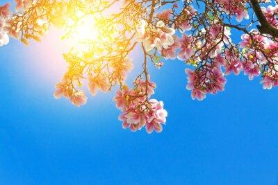 Obraz Magnolia květy na slunci