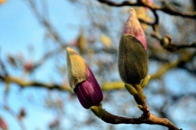 Obraz Magnolia pupeny