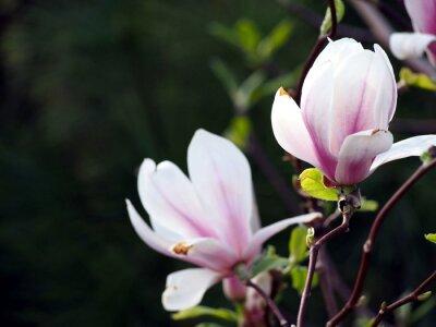 Obraz Magnolia x soulangeana 'Alexandrina