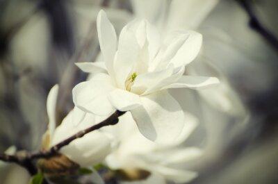 Obraz Magnólie bílé květy