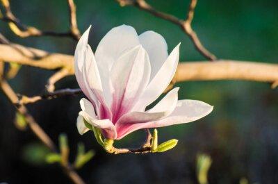 Obraz magnólie květina ve slunečním světle