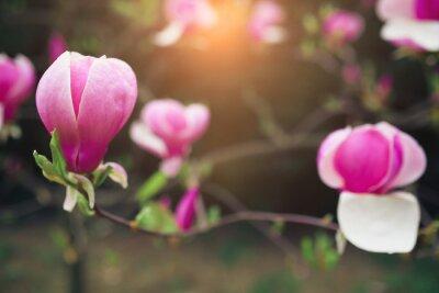 Obraz magnólie květiny