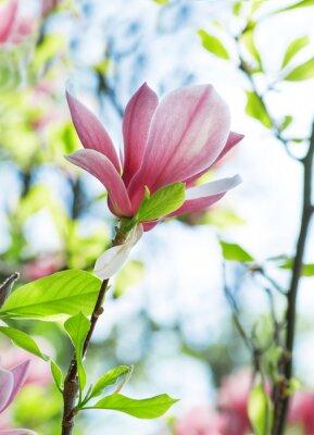 Obraz Magnólie květy v parku