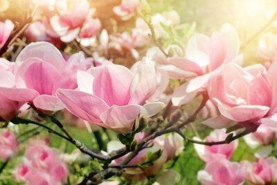 Obraz magnolie strom květ